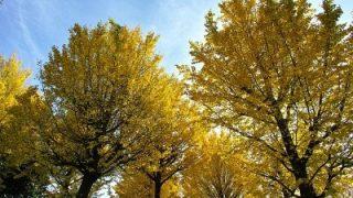 Scoperto il segreto del Ginkgo biloba, l'albero che non invecchia mai