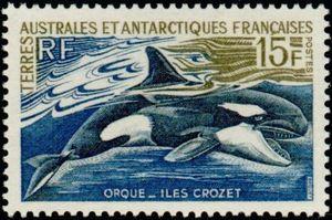 Orche, un branco matriarcale d'intelligenti predatori marini