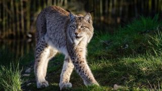 Animali, c'è un legame fra le epidemie e marcare il territorio con gli odori