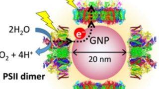 Vista schematica di un coniugato PSI-GNP-PSII progettato in questo studio (credito: Dr. Noguchi)