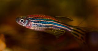 pesce sebra