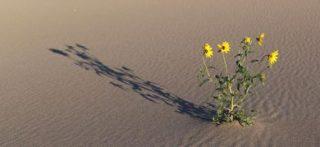 Alcune specie di girasoli selvatici si sono adattate a vivere sulle dune di sabbia (© Nolan C. Kane/University of Colorado Boulder)