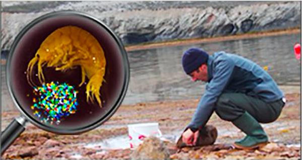 Trovate microplastiche in gamberetti del Mar Artico
