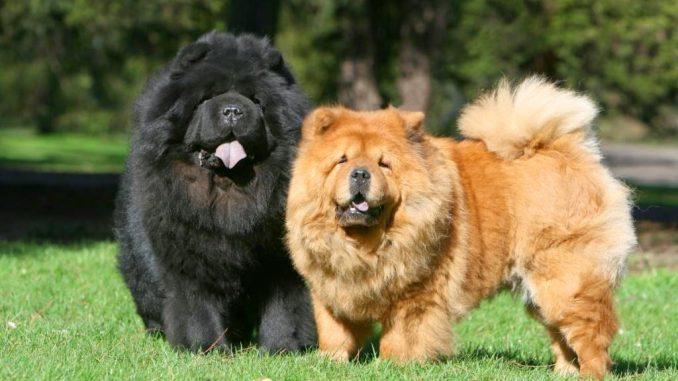 Razze canine che non sopportano il calore del caldo estivo