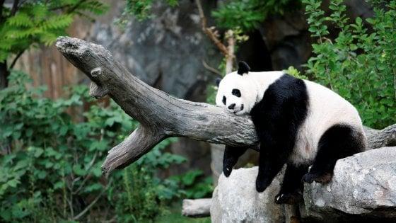 La mamma Mei Xiang ha messo al mondo un cucciolo(reuters)