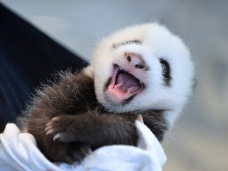 Nato cucciolo di panda gigante in cattività in uno zoo Usa