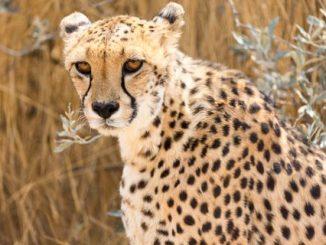 Sempre il ghepardo l'animale più veloce della savana