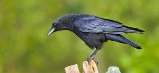 Esemplare di cornacchia (Corvus corone) ©agefotostock/AGF