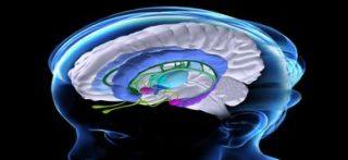 Anatomia cerebrale: l'amigdala è segnata in colore fucsia (©Science Photo Library/AGF)