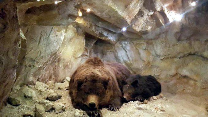 Reperto fossile di orso preistorico in buono stato di conservazione