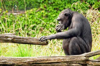 Uno scimpanzé (Pan troglodytes)|NEELSKY / SHUTTERSTOCK