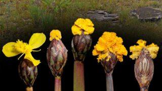 Il fungo Fusarium xyrophilum produce fiori finti per attrarre gli insetti e disperdere le proprie spore (credito: Kenneth Wurdack, National Museum of Natural History, Smithsonian Institution)
