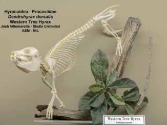 Nuovo mammifero della specie dendrohyrax trovato in Africa