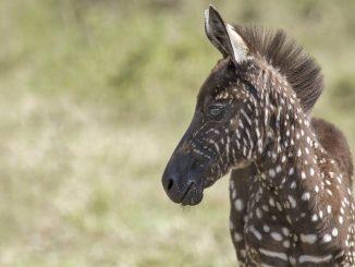 Trovate zebre africane consanguinee geneticamente mutate