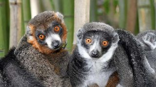(foto:David Haring, Duke Lemur Center)