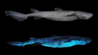 Nuova Zelanda, scoperti squali che brillano nel buio degli abissi.