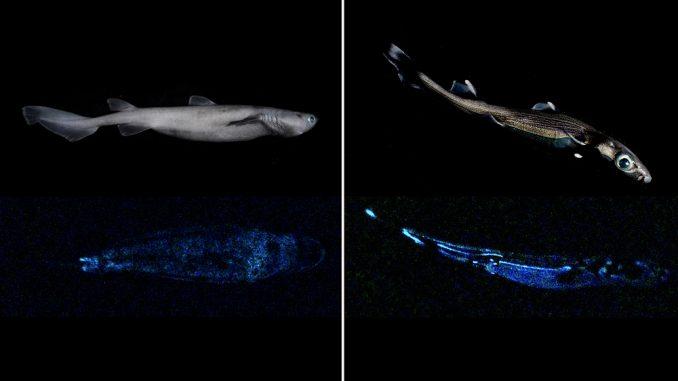Squali con bioluminescenza naturale a mille metri di profondità