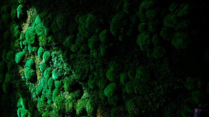 La luce del sole su un muro coperto di muschio al Field Trip, una clinica di terapia psichedelica a Toronto, in Canada, nel 2020. COLE BURSTON / AFP tramite Getty Images