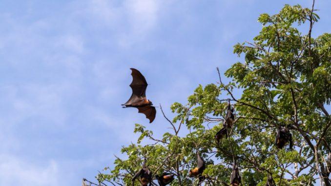 Volpi volanti in una foresta vicina a insediamenti umani. Shutterstock