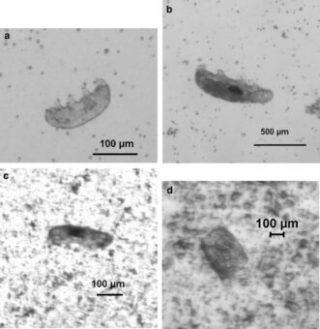 Nei riquadri 'a' e 'b', esemplari di tardigradi prima dell'impatto. Nel riquadro 'c' un esemplare dopo l'urto a 2.620 Km/h. Nel riquadro 'd' i frammenti dopo l'impatto a oltre 3.000 km/h. Crediti: Alejandra Traspas and Mark J. Burchell, Astrobiology, 2021