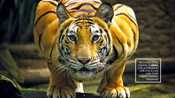 La tigre del Bengala (Panthera tigris tigris)