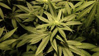 Cannabis, si potrà coltivare in casa. Alla Camera la nuova legge ma la maggioranza si spacca