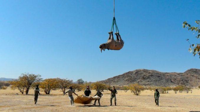 Uno degli studi premiati spiega perché è meglio trasportare un rinoceronte in elicottero a testa in giù. Namibian Ministry of Environment, Forestry and Tourism
